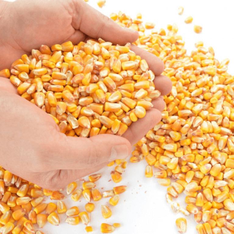 Milho: Importante Grão do Setor Agro